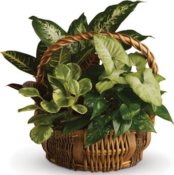 Description: All kinds of gorgeous greens fill this basket that makes a perfect gift for men or women.