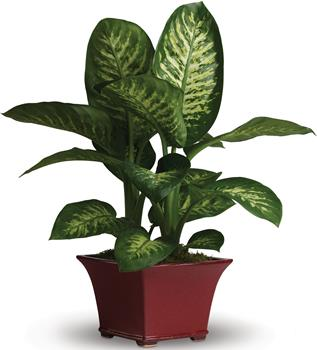 Description: This delightful dieffenbachia makes a dashing gift! Rich and relaxing shades of green are on display in this easy to-care-for leafy plant.