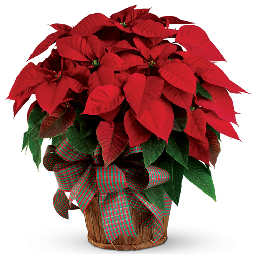 Description: The red poinsettia has been a Christmas favourite for generations